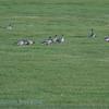IJsland; 2019; Iceland; Kleine rietgans; Anser brachyrhynchus; Pinkfooted goose; Oie à bec court; Kurzschnabelgans