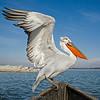Kroeskoppelikaan; Pelecanus crispus; Dalmatian pelican; Krauskopfpelikan; Pélican frisé