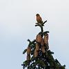 Kruisbek; Loxia curvirostra; Red crossbill; Beccroisé des sapins; Fichtenkreuzschnabel