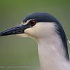 Kwak; Nycticorax nycticorax; Blackcrowned night heron; Nachtreiher; Bihoreau gris