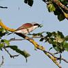 Lanius collurio; Neuntöter; Redbacked Shrike; Piegrièche Écorcheur; Grauwe Klauwier