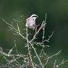 Lanius collurio; Neuntöter; Redbacked Shrike; Piegrièche Écorcheur; Grauwe Klauwier; trekvogel