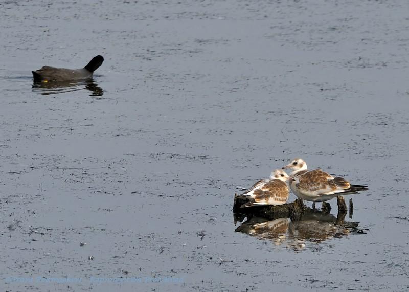 Larus ridibundus; Lachmöwe; Blackheaded Gull; Mouette rieuse; Kokmeeuw