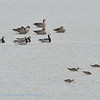 Limosa limosa; Grutto; Uferschnepfe; Blacktailed Godwit; Barge à queue noire