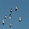 Limosa limosa; Grutto; Uferschnepfe; Blacktailed Godwit; Barge à queue noire