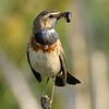 Bluethroat with food in beak; Close-up; Luscinia svecica; Blaukehlchen;  Gorgebleue à miroir; Blauwborst; Het Vinne; Zoutleeuw