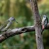 Middelste bonte specht; Dendrocoptes medius; Leiopicus medius; Middle spotted woodpecker; Mittelspecht; Pic mar