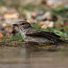 Grauwe Vliegenvanger; Muscicapa striata; Gobemouche gris; Spotted Flycatcher; Grauschnäpper