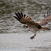Visarend; Osprey; Pandion haliaetus; Balbuzardpêcheur