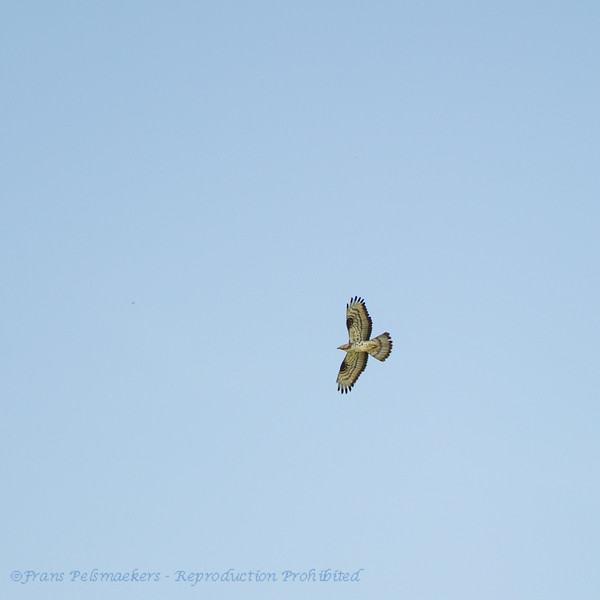 Pernis apivorus; Wespenbussard; Honey Buzzard; Bondrée apivore; Wespendief