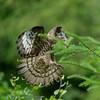 Pernis apivorus; Wespenbussard; Honey Buzzard; Bondrée apivore; Wespendief