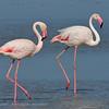 Phoenicopterus ruber; Flamingo; Greater Flamingo; Flamant rose