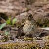 Phoenicurus phoenicurus; Gartenrotschwanz; Redstart; Rougequeue à front blanc; Gekraagde Roodstaart