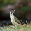 Green Woodpecker; Pic vert; Picus viridis; Grünspecht; Groene Specht