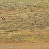 IJsland; 2019; Iceland; Goudplevier; Pluvialis apricaria; European golden plover; Pluvier doré; Goldregenpfeifer