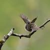 Prunella modularis; Heckenbraunelle; Dunnock; Accenteur mouchet; Heggemus