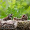 Heggemus; Prunella modularis; Heckenbraunelle; Dunnock; Accenteur mouchet