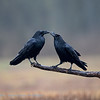 Raaf; Corvus corax; Common raven; Grand Corbeau; Kolkrabe; 2019