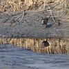 Rallus aquaticus; Waterral; Wasserralle; Water Rail; Râle d'eau