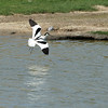 Recurvirostra avosetta; Säbelschnäbler; Avocet; Avocette élégante; Kluut
