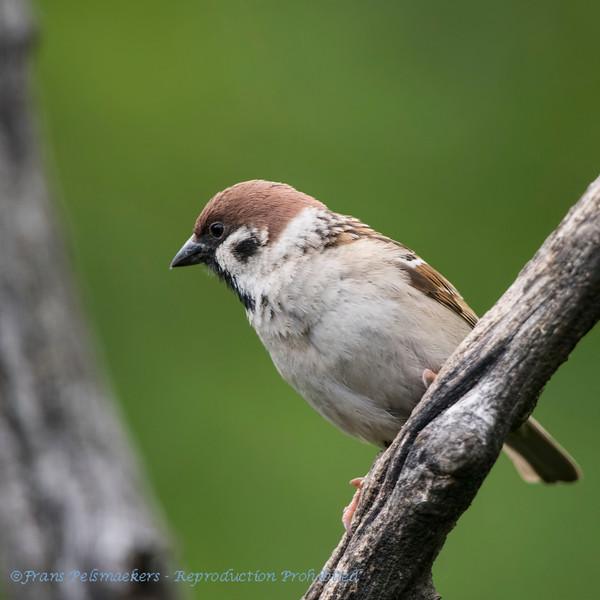 Ringmus; Passer montanus; Eurasian tree sparrow; Feldsperling; Moineau friquet
