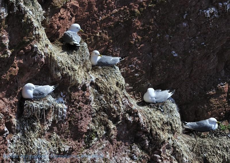 Drieteenmeeuw; Rissa tridactyla; Mouette tridactyle; Dreizehenmöwe; Kittiwake