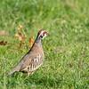 Rode patrijs; Alectoris rufa; Redlegged partridge; Perdrix rouge; Rothuhn