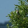 Roodmus; Carpodacus erythrinus; Erythrina erythrina; Common rosefinch; Roselin cramoisi; Karmingimpel