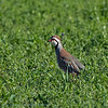 Roodpootpatrijs; Alectoris rufa; Redlegged partridge; Perdrix rouge; Rothuhn