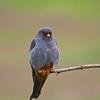 Roodpootvalk;  Falco vespertinus; Redfooted falcon; Faucon kobez; Rotfußfalke