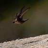 Rotszwaluw; Ptyonoprogne rupestris; Eurasian crag martin; Hirondelle de rochers; Felsenschwalbe