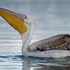 Roze pelikaan; Pelecanus onocrotalus; Great white pelican; Pélican blanc; Rosapelikan