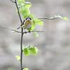 Saxicola rubetra; Braunkehlchen; Whinchat; Traquet tarier; Paapje