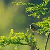 Saxicola torquata; Schwarzkehlchen; Stonechat; Roodborsttapuit; Traquet pâtre