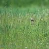 Schreeuwarend; Aquila pomarina; Lesser spotted eagle; Aigle pomarin; Clanga pomarina; Schreiadler
