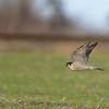 Slechtvalk; Falco peregrinus; Peregrine falcon; Faucon pèlerin; Wanderfalke