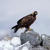 Steenarend; Aquila chrysaetos; Steinadler; Aigle royal; Golden eagle