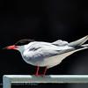 Sterna hirundo; Flusseeschwalbe; Common Tern; Sterne pierregarin; Visdiefje