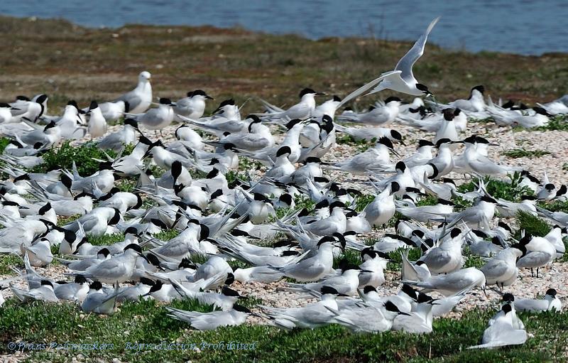 Sterna sandvicensis; Brandseeschwalbe; Sandwich Tern; Sterne caugek; Grote Stern; Texel