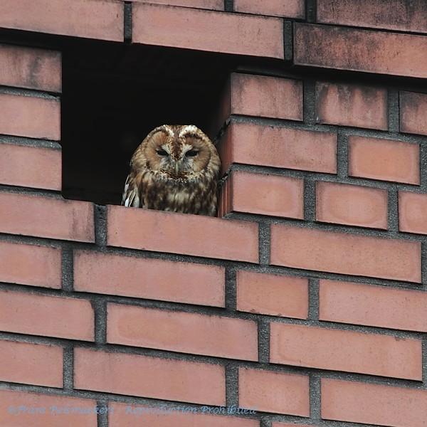 Strix aluco; Chouette hulotte; Bosuil; Tawny Owl; Waldkauz