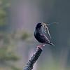 Spreeuw; Sturnus vulgaris; Star; Starling; Etourneau sansonnet