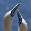 Close-up, pairing ritual Jan van Gent; Sula bassana; Fou de Bassan; Gannet; Basstölpel; Helgoland; balts; display