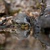 Zwartkop; Sylvia atricapilla; Mönchsgrasmücke; Blackcap; Fauvette à tête noire
