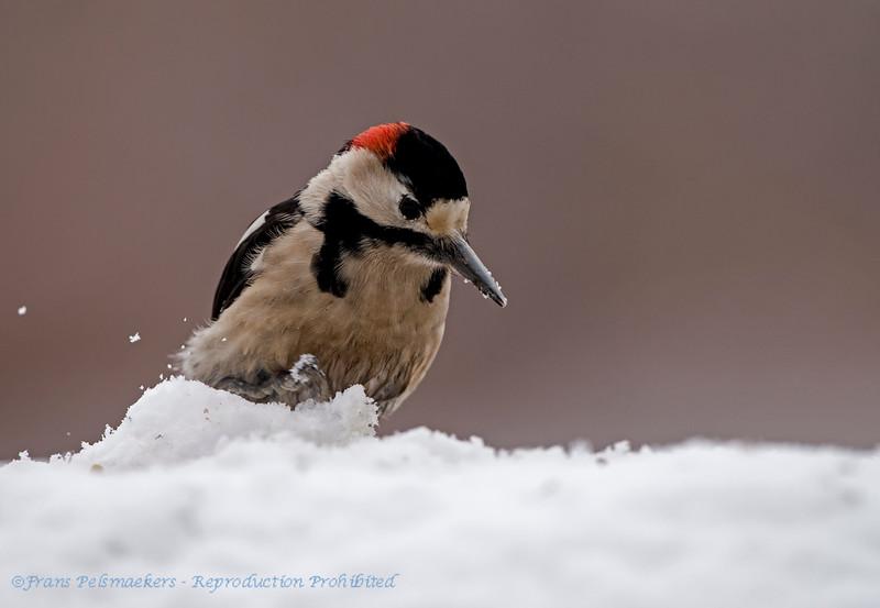 Syrische bonte specht; Dendrocopos syriacus; Syrian woodpecker; Pic syriaque; Blutspecht