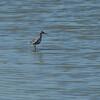 Tringa erythropus; Dunkler Wasserläufer; Spotted Redshank; Chevalier arlequin; Zwarte Ruiter