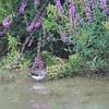 Tringa ochropus; Waldwasserläufer; Green Sandpiper; Chevalier culblanc; Witgatje