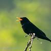 Turdus merula; Amsel; Blackbird; Merle noir; Merel