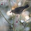 Merel; Turdus merula; Amsel; Blackbird; Merle noir