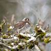 Kramsvogel; Turdus pilaris; Wacholderdrossel; Fieldfare; Grive litorne