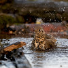 Turdus viscivorus; Misteldrossel; Mistle Thrush; Grive draine; Grote Lijster